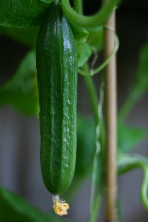 The first cucumber of the season